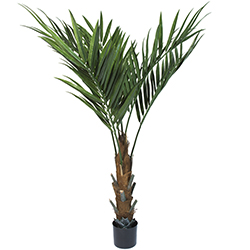 60 Inch Kentia Palm Tree Image