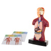 Anatomy Model ? Human Body Torso with Removable Organs for Science and Medical Laboratory Learning ? Elementary, Junior High, Homeschool by Hey! Play!