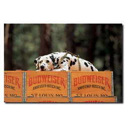 Clydesdale Dalmation resting on Budweiser Case- 16x24 Canvas
